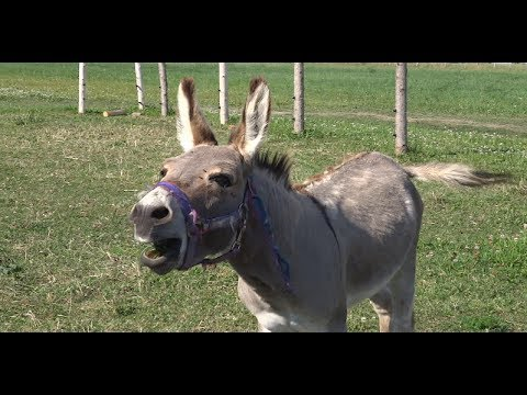 Donkey sound jackass noise