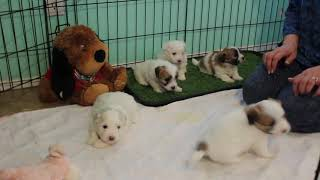 Coton Puppies For Sale 1/29/20