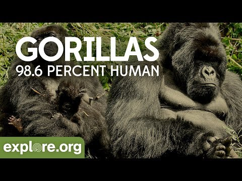 Gorilla Documentary - Gorillas: 98.6% Human | Explore Films