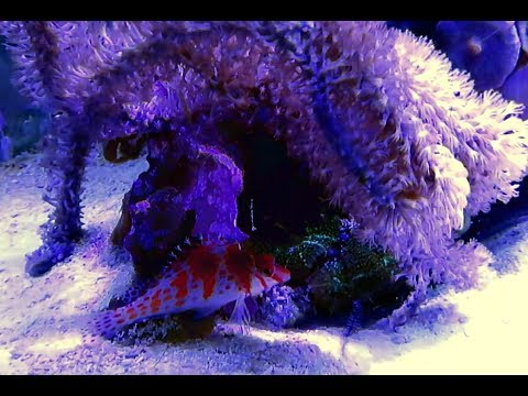 New  Aquarium  Fish - Falco Hawkfish And  Clown Goby