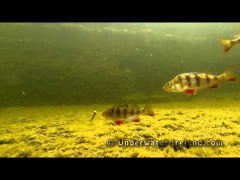 Fishing: Watch Perch Stilling A Worm From A Hook Underwater. Рыбалка: окунь срывает червя под водой.