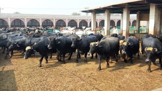 (Part3)Top level Breeder in Multan Punjab    Hajji Shouqat Dogar