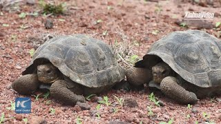 191 turtles liberated as part of ecological restoration in the Galapagos Islands
