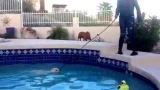 """Phoenix Dog Training """"k9katelynn"""" Teaches Owners How To Swim Their Yellow Labrador Retriever!"""