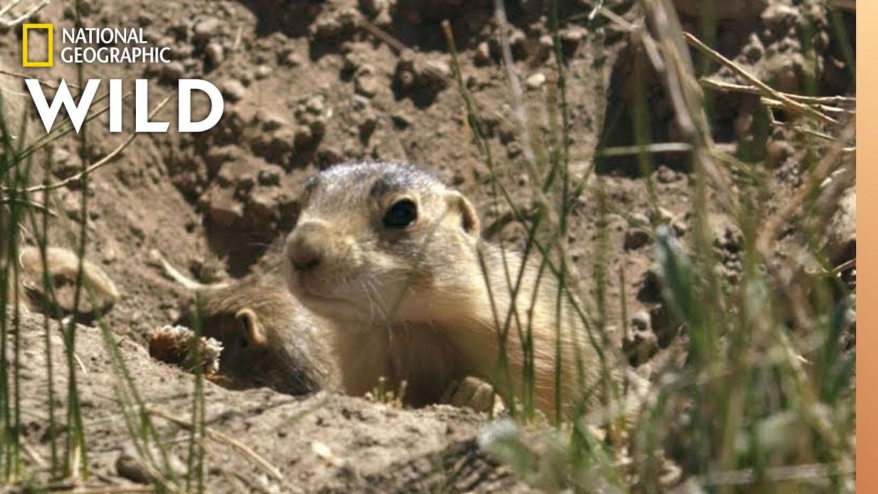 Prairie Dog Pups See Badgers | Prairie Dog Manor