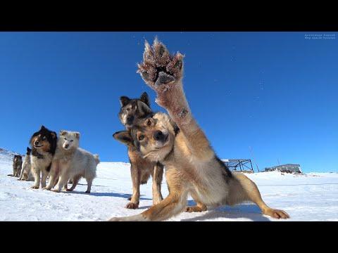 """Общаемся с собачками за день до старта гонки """"Надежда"""". Набережная села Лорино. Чукотка. Арктика."""