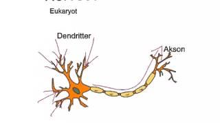 Om nervecellen