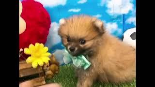 ペットショップ 犬の家 尼崎店 「87618:ポメラニアン」