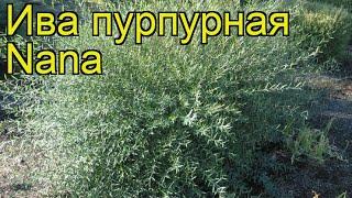 Ива пурпурная Нана. Краткий обзор, описание характеристик, где купить саженцы salix purpurea Nana