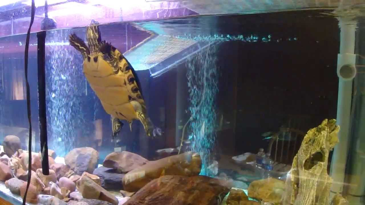 Turtle Introduced To New 200 Gallon 220 Technically Tank
