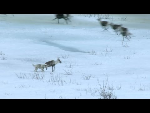 Wolf hunts caribou - Nature's Epic Journeys: Episode 2 Preview - BBC One