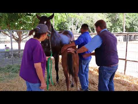 Creating a Maternal Bond for orphan foals