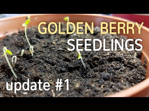 Golden Berry Seedlings Update #1 | Growing Cape Gooseberry from Seed - 05.02.2017