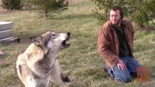 Timber Howls at a Train at Wolf Park
