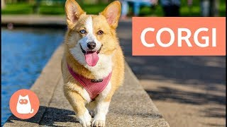 Cardigan Welsh Corgi vs Pembroke Welsh Corgi