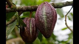 Какао- Польза и Вред для Здоровья. Какой Купить Какао