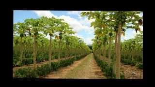 Papaya Golden from Brasil - FARM - UGBP Video