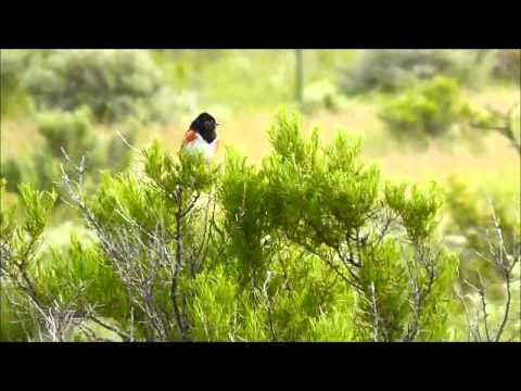 Spotted Towhee (Pipilo maculatus), Charles Russell National Wildlife Refuge, Montana