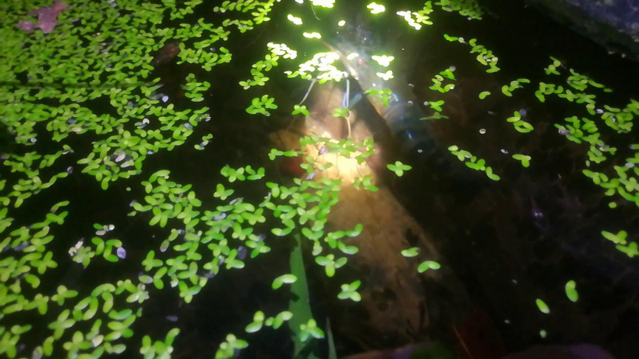 ทดลองเลี้ยงกุ้งแม่น้ำในบ่อปูน