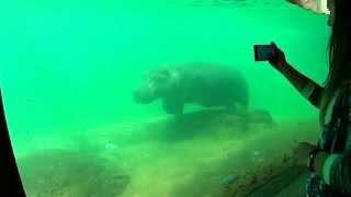 Hipopotam pod wodą Afrykarium ZOO Wrocław