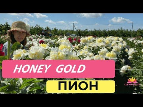 Пион с японской формой цветка HONEY GOLD / Сад Ворошиловой