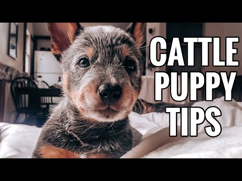 Blue Heeler Puppies | 5 Things You NEED to Know