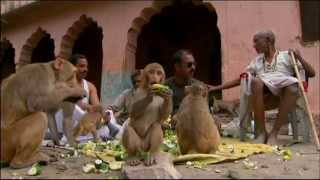 Macaques and Langoors in Rajasthan