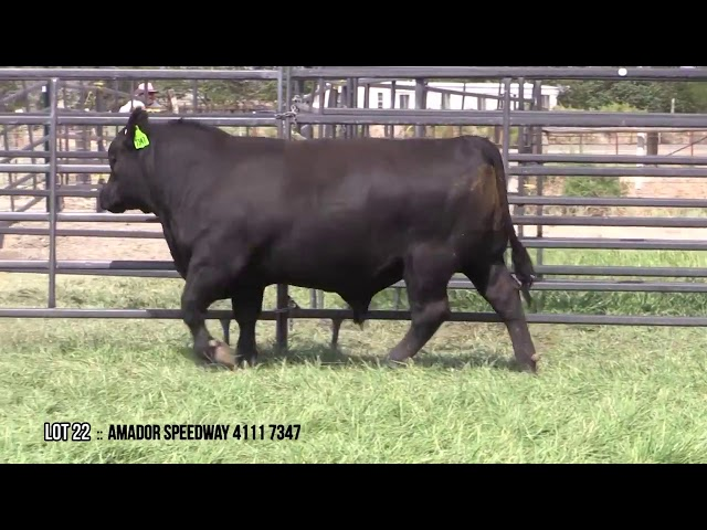 Mid Valley Bull Sale Lot 22