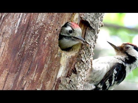 Птенцы дятла кричат в дупле, малый пестрый дятел