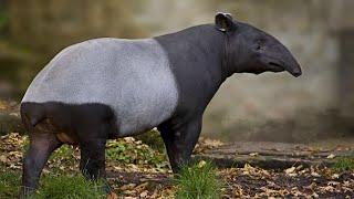 ТАПИР: Смесь носорога, лошади, слона и свиньи