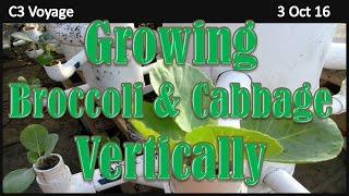 Growing Broccoli & Cabbage Vertically