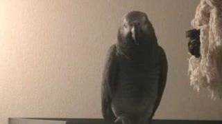 Tui the African Grey has a Tantrum. When parrots attack! Par...