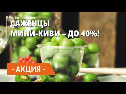 Скидка на саженцы мини-киви – 40%!