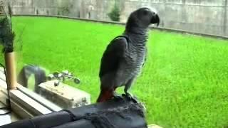 超會說話好愛說話的鸚鵡