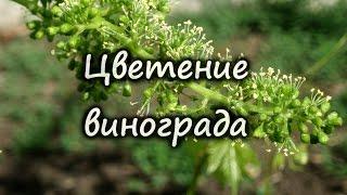 Цветение винограда, почему виноград нельзя поливать во время цветения