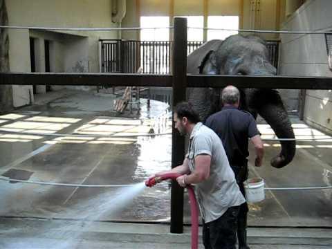 Washing the elephant at the Calgary Zoo
