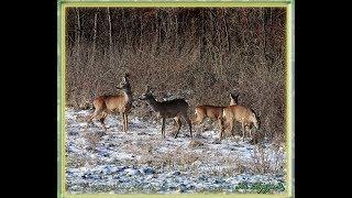 Piękno Przyrody Cz  155   Zima - Płoskie  Las   Zwierzęta  Sarny