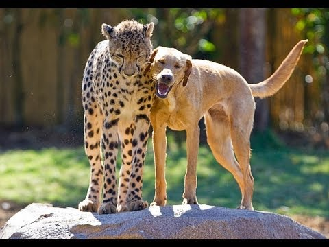 Cheetah and dog friends celebrate anniversary together at Busch Gardens Tampa