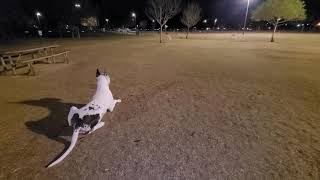 Great Dane Love Heartbreaker Attacked at the Dog Park