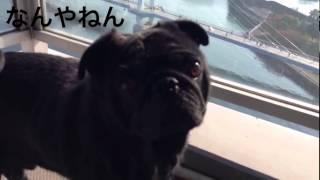 うちの黒パグ、やっぱり変な生き物w Pug ↓【これで最後にしたい人におす...