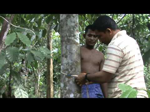 Pohon Gaharu di Tanah Aceh