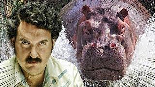 POR QUE OS HIPOPÓTAMOS DE PABLO ESCOBAR SÃO UM PROBLEMA?
