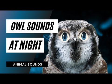 The Animal Sounds: Owl Hooting - Sound Effect - Animation