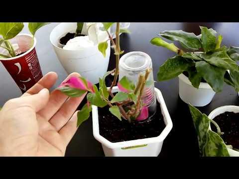 Комнатные цветы. Посадки /пересадки комнатных растений продолжаются.