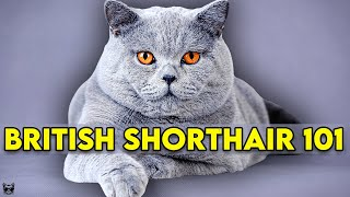 British Shorthair Cat 101 - EVERYTHING You NEED To KNOW!