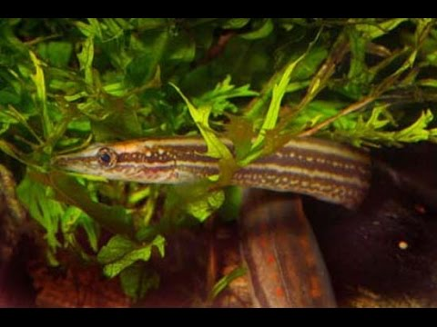 Peacock Spiny Eel And Neon Tetras In A Planted Tank By Techagesite