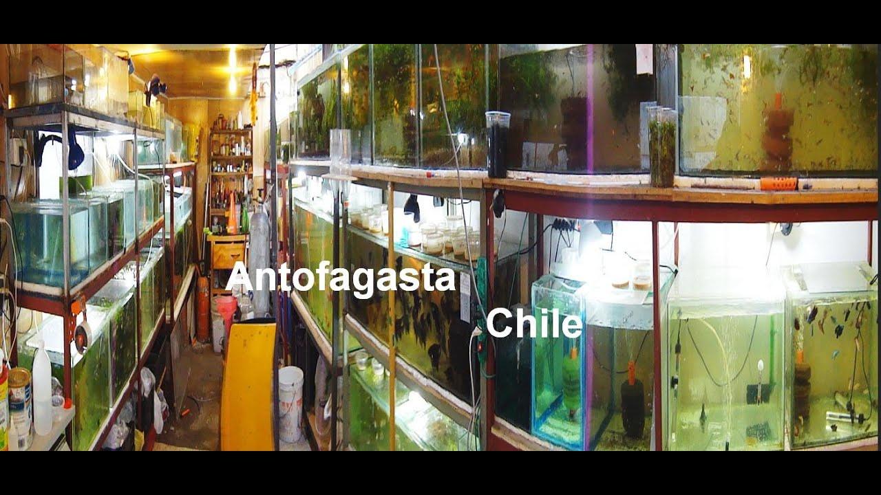 Criadero de peces ornamentales antofagasta chile youtube for Criaderos de pescados colombia