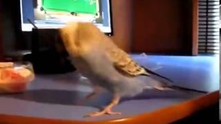 Танцующий попугай Прикол(, 2014-03-02T10:30:10.000Z)