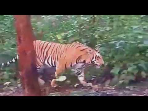 Tiger at Pilibhit Tiger Reserve