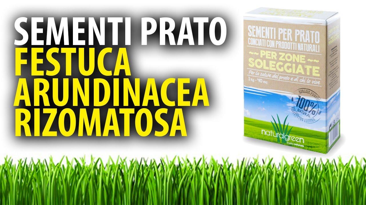 Festuca arundinacea rizomatosa sementi per prato youtube for Festuca prato
